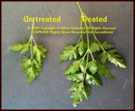 Treated and Untreated examples of the profound effects of ORMUS (tm) and Vivalent (Mt) when used on drought stricken plants. (c) 2008-2015 Copyright H. Alfred Goolsbee. All Rights Reserved.